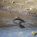 Shorebirds by Robert Floyd