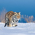 Siberian Tiger by Alan Carey