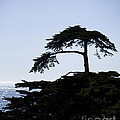 Silhouette Of Monterey Cypress Tree by B Christopher