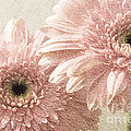2 Silver Pink Painterly Gerber Daisies by Andee Design