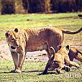 Small Lion Cubs With Mother. Tanzania by Michal Bednarek