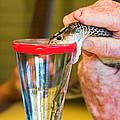 Snake Venom Extraction by Millard H. Sharp