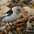 Snow Bunting by John Shaw