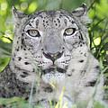 Snow Leopard by John Telfer