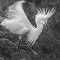 Snowy Egret by Jim Rettker