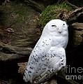 Snowy Owl by Charles Robinson