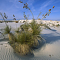 Soaptree Yucca In Gypsum Dunes White by Konrad Wothe
