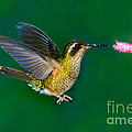 Speckled Hummingbird by Anthony Mercieca