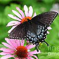 Spicebush Swallowtail Butterfly by James Brunker