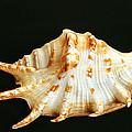 Spider Conch by Bill Morgenstern
