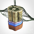 Spinal Cord by Science Picture Co
