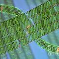 Spirogyra Algae, Light Micrograph by Marek Mis