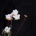 Spotted Wintergreen 3 by Douglas Barnett