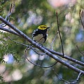Spring Black-throated Green Warbler by James Petersen