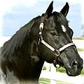 Stallion by Paul Tagliamonte