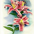 Stargazer Lilies by Brett Winn