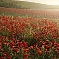 Stunning Poppy Field Landscape Under Summer Sunset Sky by Matthew Gibson