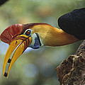 Sulawesi Red-knobbed Hornbill Male by Tui De Roy