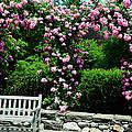 Pink Rose Garden by Crystal Wightman