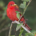 Summer Tanager by Anthony Mercieca