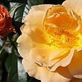 Summer's  Rose Love by Christiane Schulze Art And Photography