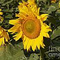 Sun Flower by William Norton