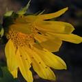 Sunflower by Deborah Coe
