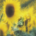 Sunflower Field by David Nunuk/science Photo Library
