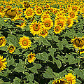 Sunflower Field by Roy Pedersen