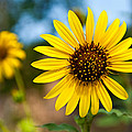 Sunflower by Mark Weaver