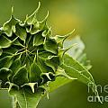 Sunflower by Michael Cummings