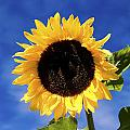 Sunflower by Peter Lloyd