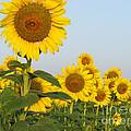 Sunflower Series by Amanda Barcon
