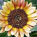 Sunflower by Staci  AJello