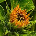 Sunflower by Thomas Maugham