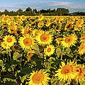 Sunflowers At Dawn by Brian Jannsen