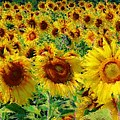 Sunny Sunflowers by Alice Gipson