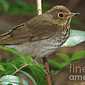 Swainsons Thrush by Anthony Mercieca