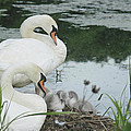 Swan Family by Tracy Winter