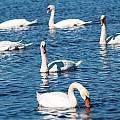 Swan by Gaurav Singh