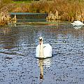Swan In River In An  English Countryside Scene On A Cold Winter  by Fizzy Image