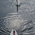 2 Swan by Robert Nickologianis