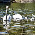 Swan With Signets by Dennis Coates