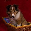 Sweetest Day Sheltie Puppy by Jeanette K