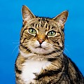 Tabby Cat by The Irish Image Collection