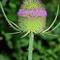 Teasel (dipsacus Fullonum) by Bruno Petriglia/science Photo Library