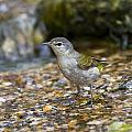 Tennessee Warbler by Doug Lloyd