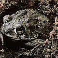 Texas Toad by Robert J. Erwin