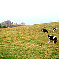The Cows Of Dunnottar Castle by Penelope Stephensen