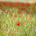 The First Poppy Of The Field by Guido Montanes Castillo